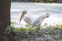 I pellicani degli uccelli stanno parlando Uccelli positivi Fotografie Stock