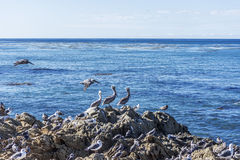 I pellicani di Brown (occidentalis del Pelecanus) si sono appollaiati su una roccia Immagini Stock Libere da Diritti