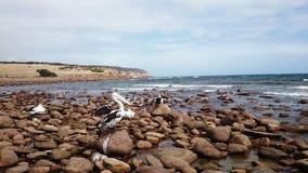 I pellicani sopra rifornisce la spiaggia Immagine Stock