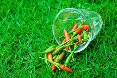 I peperoncini più freschi e più caldi, a disposizione e prato inglese Immagini Stock
