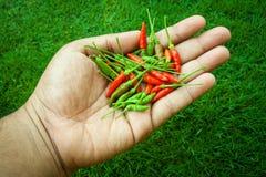 I peperoncini più freschi e più caldi, a disposizione e prato inglese Immagine Stock