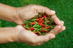 I peperoncini più freschi e più caldi, a disposizione e prato inglese Fotografie Stock