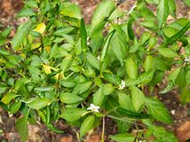 I peperoncini piantano nel giardino dei peperoncini rossi Immagini Stock