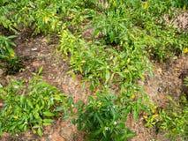 I peperoncini piantano nel giardino dei peperoncini rossi Immagine Stock Libera da Diritti