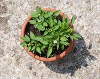 I peperoncini rossi piantano in POT del Brown Immagini Stock