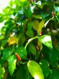 I peperoni lunghi di Cabe Jawa, o di Java, è una pianta indonesiana delle erbe, comunemente usata per medicina tradizionale immagine stock