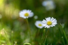 I perennis del Bellis fiorisce in fioritura, prato inglese in pieno delle margherite, bella piccola pianta di fioritura selvatica immagine stock libera da diritti