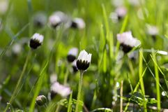 I perennis del Bellis fiorisce in fioritura, prato inglese in pieno delle margherite, bella piccola pianta di fioritura selvatica fotografie stock libere da diritti