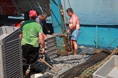 I pescatori scaricano il fermo dello spratto sul piccolo peschereccio Immagini Stock