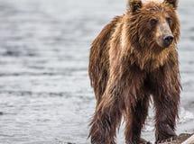 I pesci dell'orso bruno Fotografia Stock