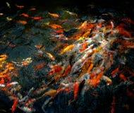 I pesci della carpa stanno inseguendo l'alimento Immagine Stock Libera da Diritti