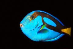 I pesci tropicali blu solitari della roccia si chiudono in su Immagini Stock