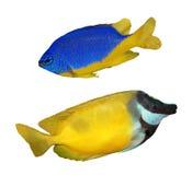 I pesci tropicali della scogliera hanno isolato Immagine Stock