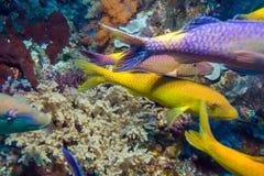 I pesci tropicali si avvicinano alla barriera corallina variopinta fotografie stock libere da diritti