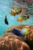 Peschi con corallo riflesso nella superficie dell'acqua Immagini Stock Libere da Diritti