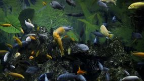 I pesci variopinti nuotano nel grande acquario, i pesci di acqua dolce, il mondo subacqueo, gli animali domestici silenziosi, gli archivi video