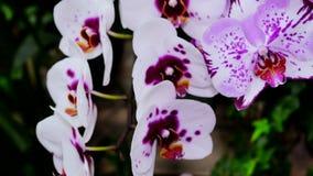 I petali bianchi del fiore dell'orchidea con i punti viola porpora si chiudono su La macchina fotografica si spost indietroare su archivi video