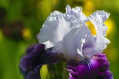 I petali bianchi dell'iride si sviluppano dai sepali porpora Immagini Stock Libere da Diritti