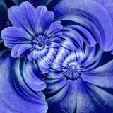 I petali blu di spirale del doppio del fiore della margherita della camomilla della marina sottraggono il fondo del modello di ef Immagini Stock