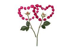 I petali della rosa sono sistemati nella forma del cuore Immagine Stock Libera da Diritti