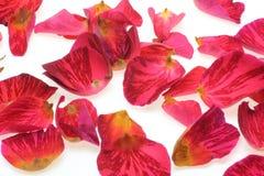 I petali di sono aumentato Fotografia Stock