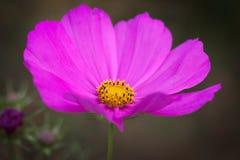 I petali rosa con giallo luminoso si concentra l'universo immagini stock libere da diritti
