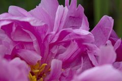 I petali rosa-intenso di un fiore della peonia creano un modello astratto di complessità e di bellezza fotografia stock