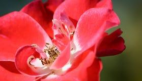I petali rossi del fiore si chiudono su Immagine Stock Libera da Diritti