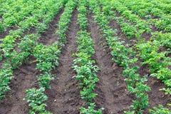 I pezzi di terra coltivati alla patata immagine stock libera da diritti