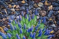 Echium acanthocarpum, endemic on La Palma stock photos