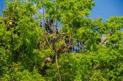 I più grandi pipistrelli australiani: le volpi volanti Fotografia Stock