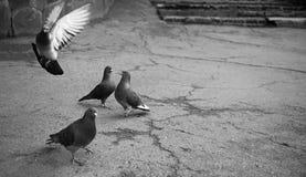 I piccioni di volo che camminano nella città parcheggiano l'attesa dell'alimentazione immagine stock