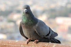 I piccioni e le colombe costituiscono le columbidae della famiglia di uccello Fotografia Stock Libera da Diritti