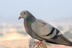 I piccioni e le colombe costituiscono le columbidae della famiglia di uccello Fotografia Stock