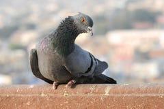 I piccioni e le colombe costituiscono le columbidae della famiglia di uccello fotografie stock libere da diritti