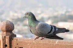 I piccioni e le colombe costituiscono le columbidae della famiglia di uccello Fotografie Stock