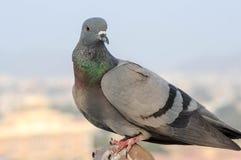 I piccioni e le colombe costituiscono le columbidae della famiglia di uccello Immagine Stock