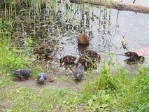 I piccioni e una nidiata delle anatre selvatiche beccano il pane Sorveglianza dell'anatra Immagini Stock
