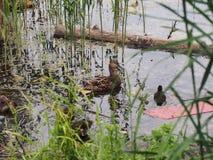 I piccioni e una nidiata delle anatre selvatiche beccano il pane Sorveglianza dell'anatra Immagine Stock