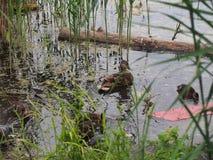 I piccioni e una nidiata delle anatre selvatiche beccano il pane Sorveglianza dell'anatra Fotografie Stock