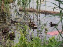 I piccioni e una nidiata delle anatre selvatiche beccano il pane Sorveglianza dell'anatra Fotografia Stock Libera da Diritti