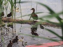 I piccioni e una nidiata delle anatre selvatiche beccano il pane Sorveglianza dell'anatra Fotografie Stock Libere da Diritti