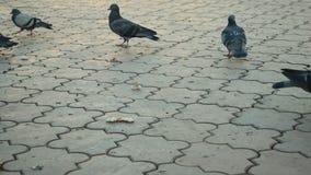 I piccioni ed i passeri mangiano il pane Primo piano video d archivio