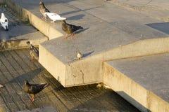 i piccioni ed il passero godono di mattina del sole Fotografia Stock Libera da Diritti