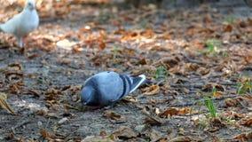 I piccioni nel parco mangiano le briciole di pane video d archivio