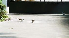 I piccioni o le colombe molto affamati mangiano il mangime a base di granella sul pavimento archivi video