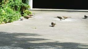 I piccioni o le colombe molto affamati mangiano il mangime a base di granella sul pavimento video d archivio