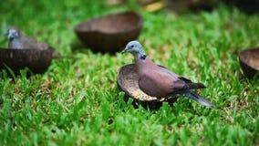 I piccioni o le colombe molto affamati mangiano il mangime a base di granella sull'erba del prato inglese archivi video