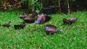 I piccioni o le colombe molto affamati mangiano il mangime a base di granella sull'erba del prato inglese video d archivio