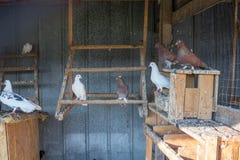 I piccioni si siedono sulle pertiche alla campagna del posatoio dell'azienda agricola Fotografie Stock